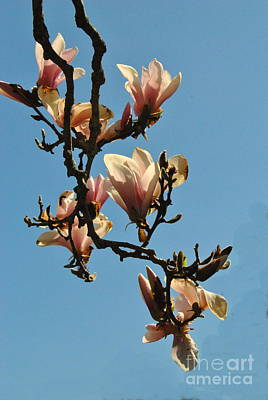 Photograph -  Pink Dogwood Branches by Jacqueline M Lewis