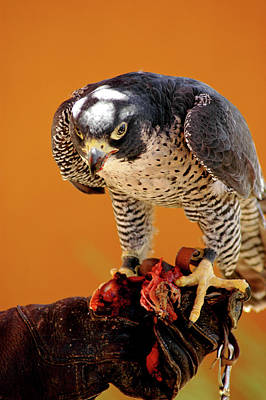 Falcon Photograph -  Peregrine Falcon by LeeAnn McLaneGoetz McLaneGoetzStudioLLCcom