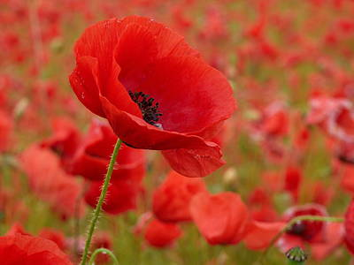 Jouko Lehto Royalty-Free and Rights-Managed Images -  Red poppies 3 by Jouko Lehto