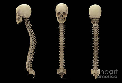 Human Skeleton Digital Art - 3d Rendering Of Human Vertebral Column by Stocktrek Images
