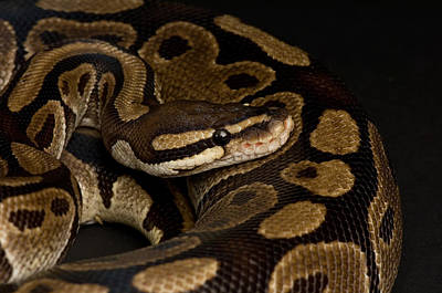 Burmese Python Photograph - A Ball Python Python Regius by Joel Sartore