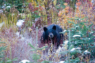 Blackcomb Photograph - A Black Bear Looks Out Of A Forest by Taylor S. Kennedy