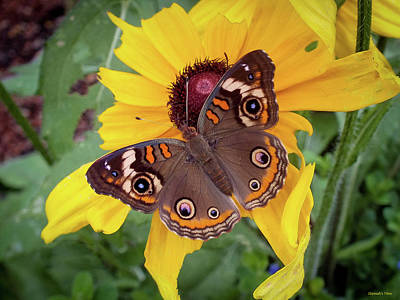 Photograph - A Common Buckeye  by Hannah Underhill