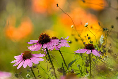 Photograph - Coneflower Symphony by Mary Amerman