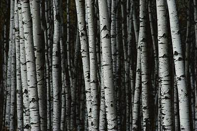Mountain View Photograph - A Forest Of White Birch Trees Betula by Medford Taylor