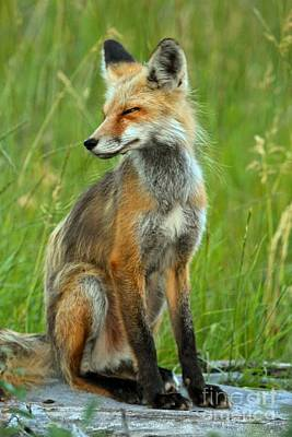 Photograph - A Foxy Pose by Adam Jewell
