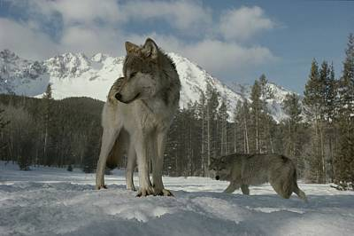 Natural Forces Photograph - A Gray Wolf, Canis Lupus, Stands by Jim And Jamie Dutcher