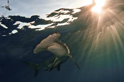 Bahama Islands Photograph - A Great Hammerhead Shark by Brian J. Skerry
