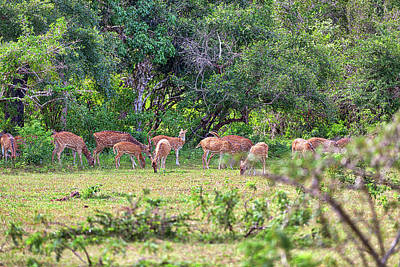 Photograph - a group of axis deer are standing on a glade in the Yala Nationalpark by Regina Koch