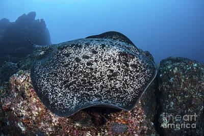 Batoidea Photograph - A Large Black-blotched Stingray Swims by Ethan Daniels