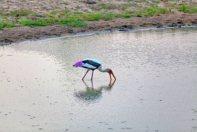 Photograph - a painted stork is fishing in a pond in the Yala Nationalpark by Regina Koch