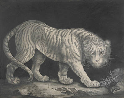 Big Cats Drawing - A Prowling Tiger by Elizabeth Pringle