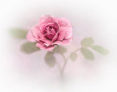 Photograph - A Rose by David and Carol Kelly