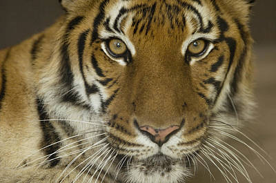 Henry Doorly Zoo Photograph - A Siberian Tiger Panthera Tigris by Joel Sartore