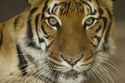 Omaha Photograph - A Siberian Tiger Panthera Tigris by Joel Sartore