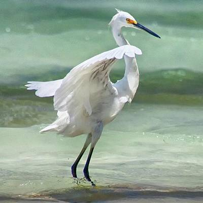 Photograph - A Snowy Egret (egretta Thula) At Mahoe by John Edwards