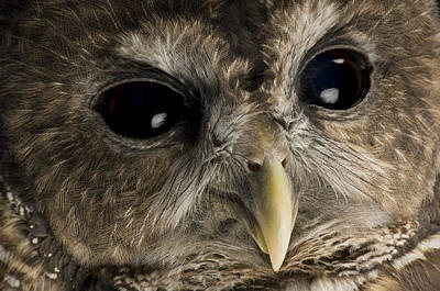 And Threatened Animals Photograph - A Threatened Northern Spotted Owl by Joel Sartore