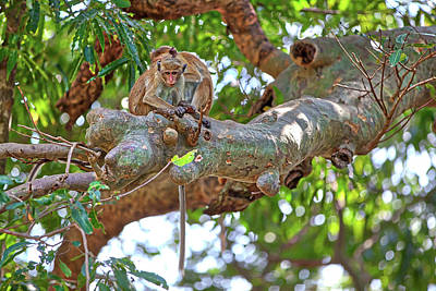 Photograph - a toque macaque is sitting on a tree in the Yala Nationalpark by Regina Koch