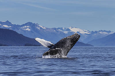 The White Stripes Photograph - A Young Humpback Whale Leaps by John Hyde