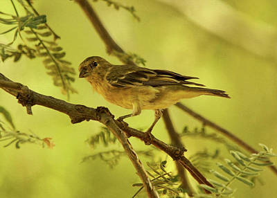 Photograph - Acacia Limb With Lesser Goldfinch by Theo O'Connor