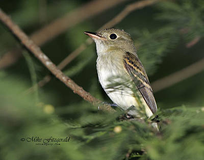 Photograph - Acadian Flycatcher by Mike Fitzgerald