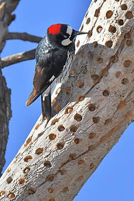Photograph - Acorn Woodpecker by Alan Lenk