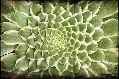 Art Print featuring the photograph Aeonium Succulent  by Catherine Lau