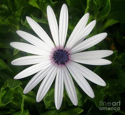 Photograph - African Daisy by Kevin Bohner