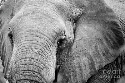 Wall Art - Photograph - African Elephant by Pippa Dini