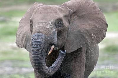 Sangha Photograph - African Forest Elephant by Tony Camacho