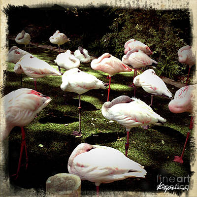 Photograph - African Lesser Flamingos, Ft. Worth Zoo by Greg Kopriva