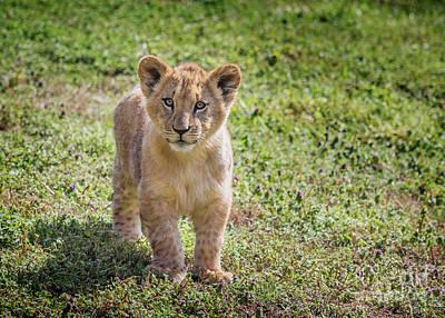 Photograph - African  Lion  Cub by Karen Jorstad