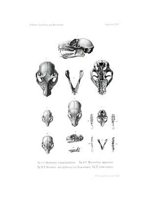 Drawing - African Mammal Skulls by Hugo Troschel