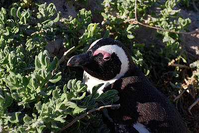 Photograph - African Penguin Study Number Four by Harvey Barrison