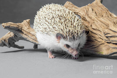 Photograph - African Pygmy Hedgehog by Les Palenik