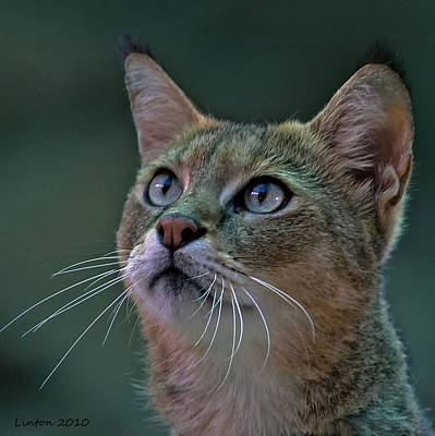 African Wild Cat Art Print by Larry Linton