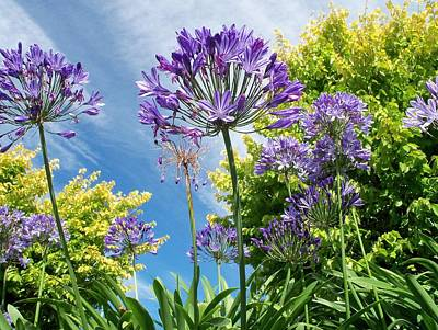 Photograph - Agapanthus by Nancy Pauling