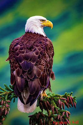 Photograph - Alaska Bald Eagle by Norman Hall