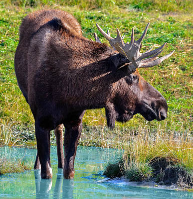 Photograph - Alaska Moose 4 by Brian Stevens