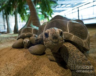 Chelonian Photograph - Aldabra Giant Tortoises by Alexis Rosenfeld