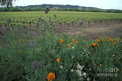 Photograph - Alexander Valley Vinyard by Stan and Anne Foster