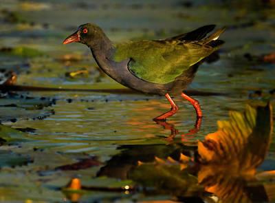 Photograph - Allen's Gallinule by Myer Bornstein
