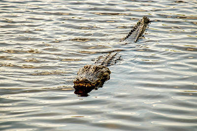 Photograph - Alligator In Lake Alice by Louis Ferreira
