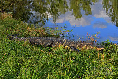 Photograph - 1- Alligator by Joseph Keane