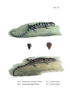 Drawing - Alligator Lizards by Friedrich August Schmidt