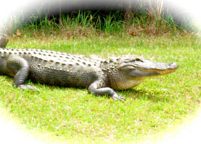 Photograph - Alligator Smile by Jeanne Kay Juhos