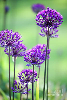 Photograph - Allium by Kati Molin