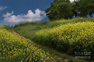 Almaden Meadows' Mustard Blossoms Art Print