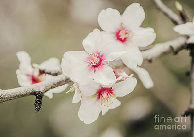 Photograph - Almond Blossom by Perry Van Munster