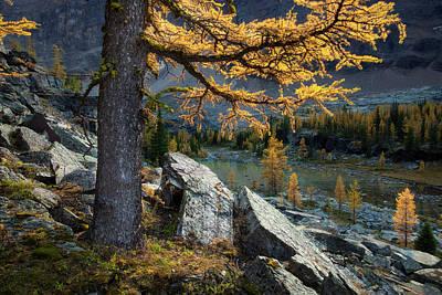 Photograph - Alpine Larch by Adam Gibbs